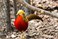 Golden pheasant (Chrysolophus pictus) photography by Howard Sykes of HSykesPhoto